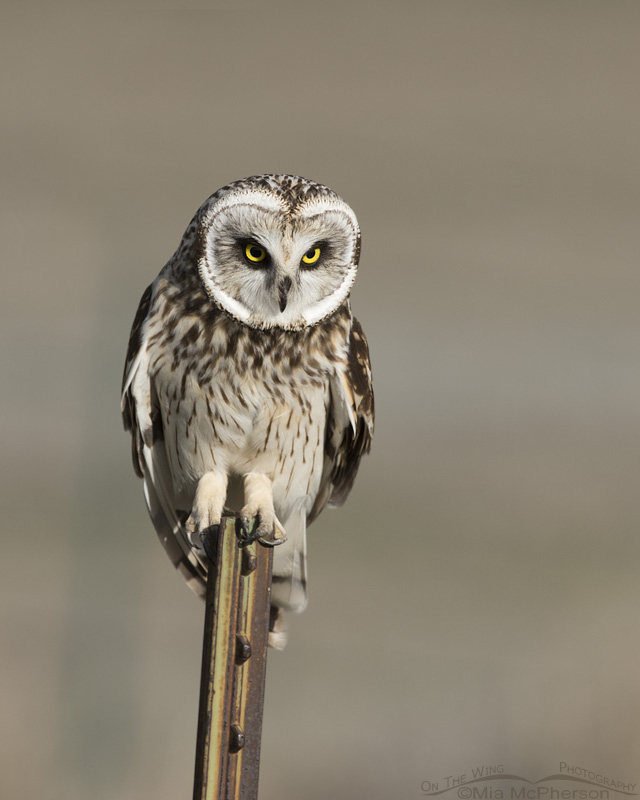 Male Short-eared Owl staring at prey
