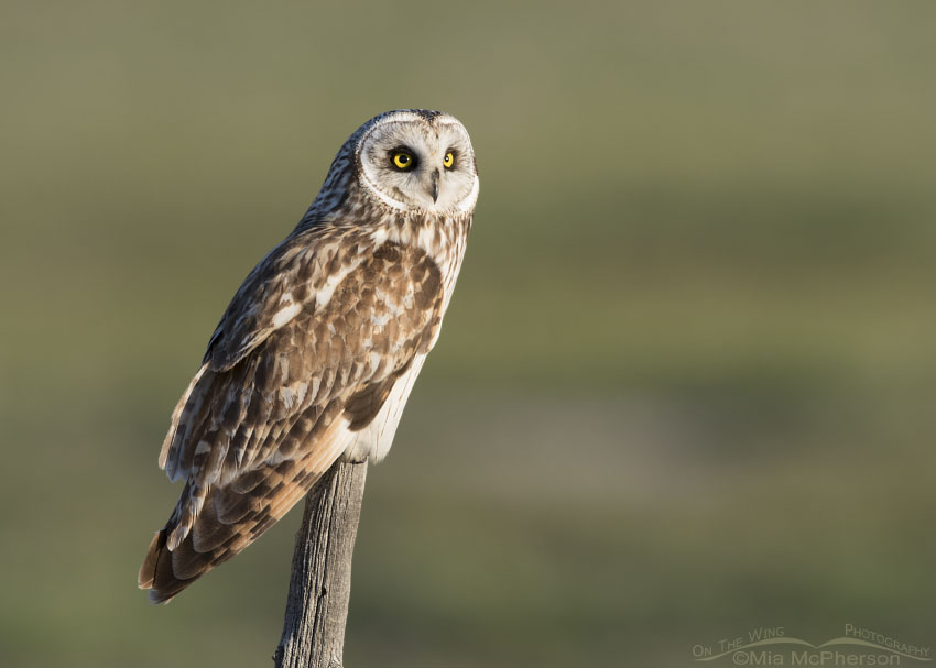Short-eared Owl with a green field