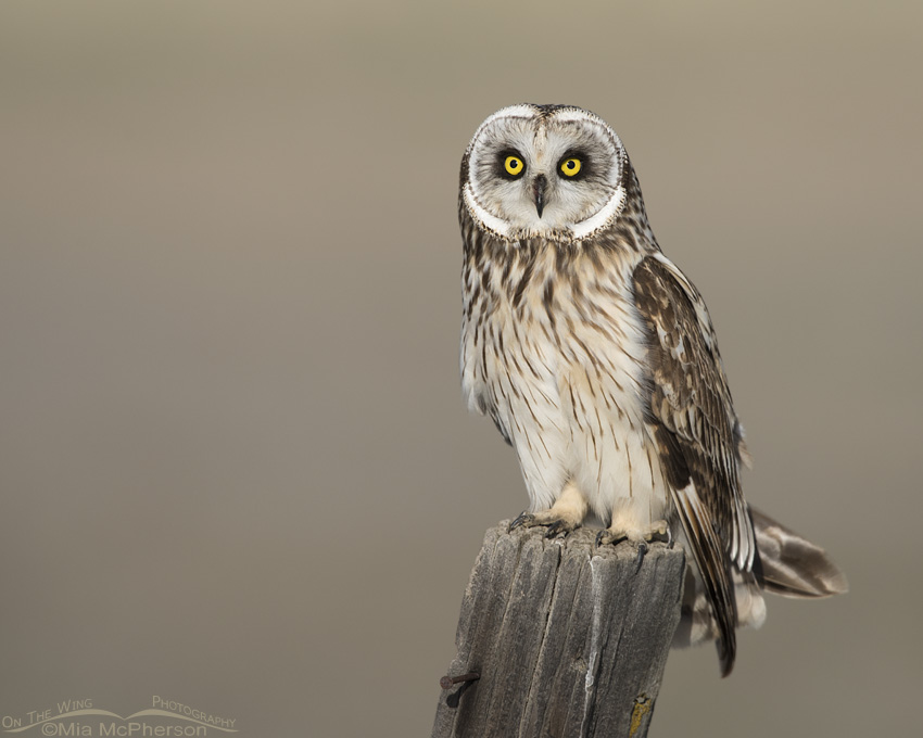 Box Elder County male Short-eared Owl on wooden post