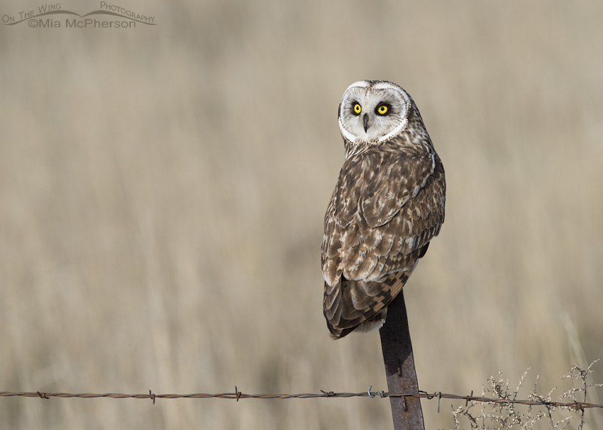 Male Short-eared Owl back view