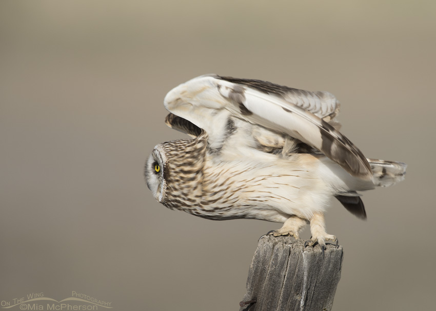 Short-eared Owl lifting off to dive on prey
