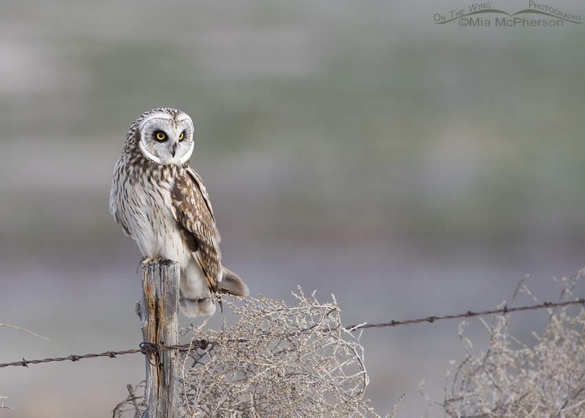 Short-eared Owl looking for prey