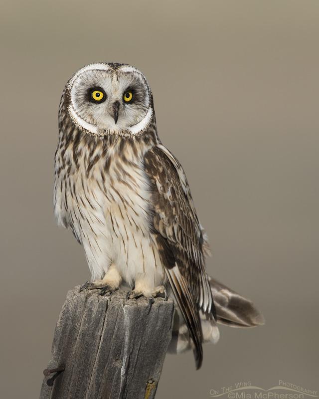 Male Short-eared Owl close up in Utah