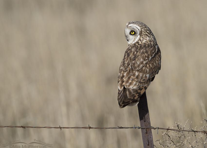 Short-eared Owl male in Box Elder County