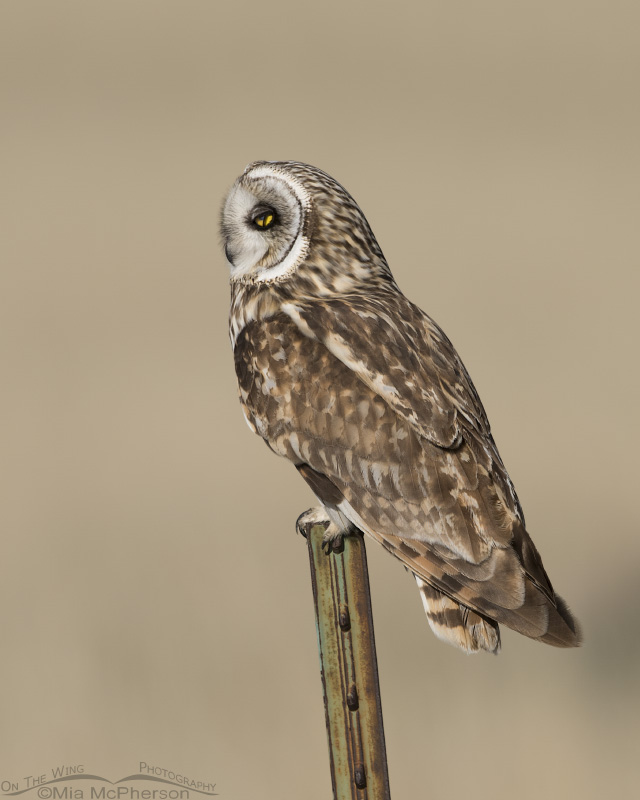 Short-eared Owl with nictitating membrane exposed