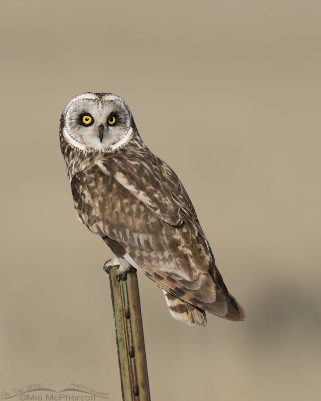 Northern Utah Short-eared Owl male