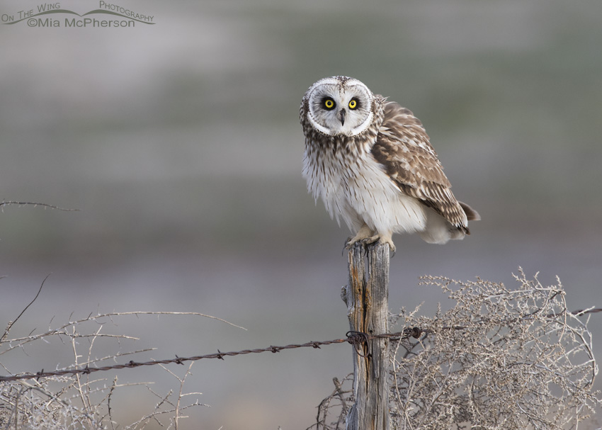Tumbleweeds with Short-eared Owl