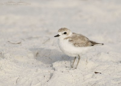 Relaxed Snowy Plover
