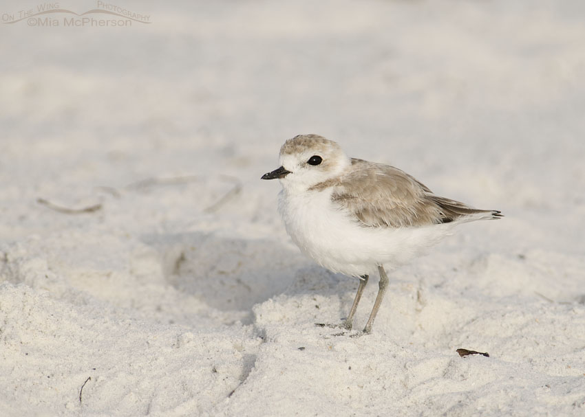 Snowy Plover Images
