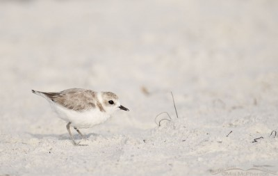 Snowy Plover on the beach