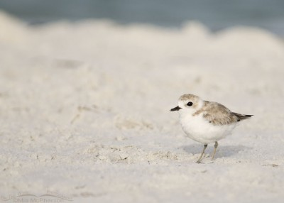 North beach Snowy Plover