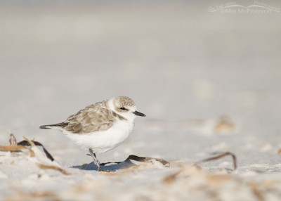 Snowy Plover warming in the sun