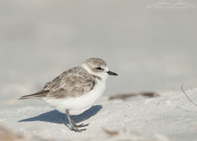 Snowy Plover at ease