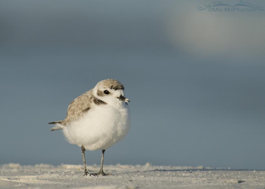 Gulf Coast Snowy Plover
