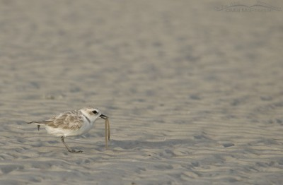 Snowy Plover with marine worm