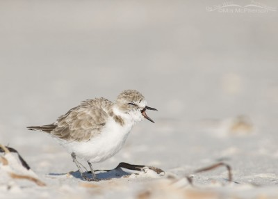 Snowy Plover caught mid yawn
