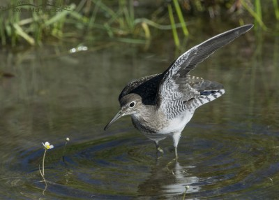 Solitary Sandpiper wing lift
