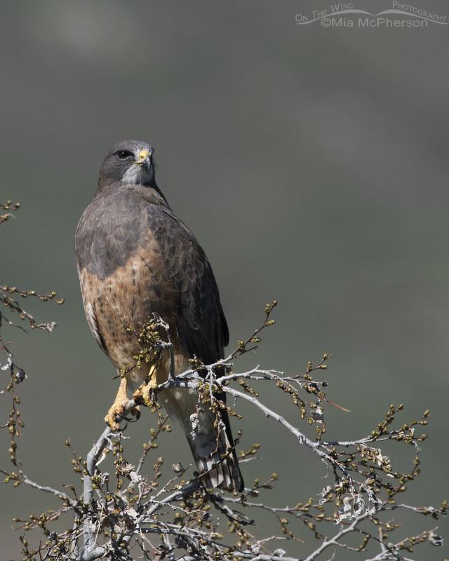 Intermediate morph Swainson's Hawk perched on a budding tree