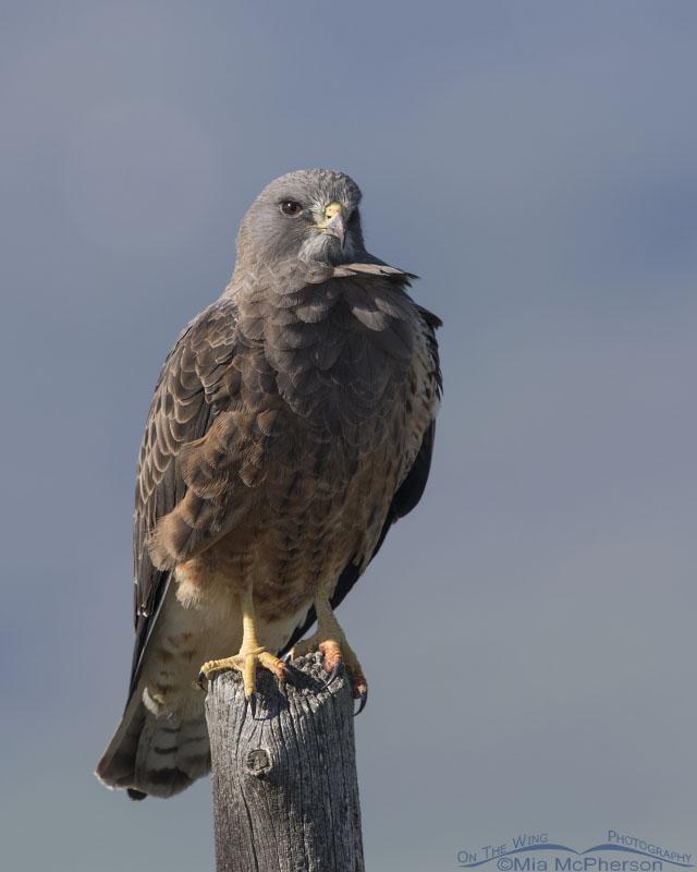 Adult Swainson's Hawk close up