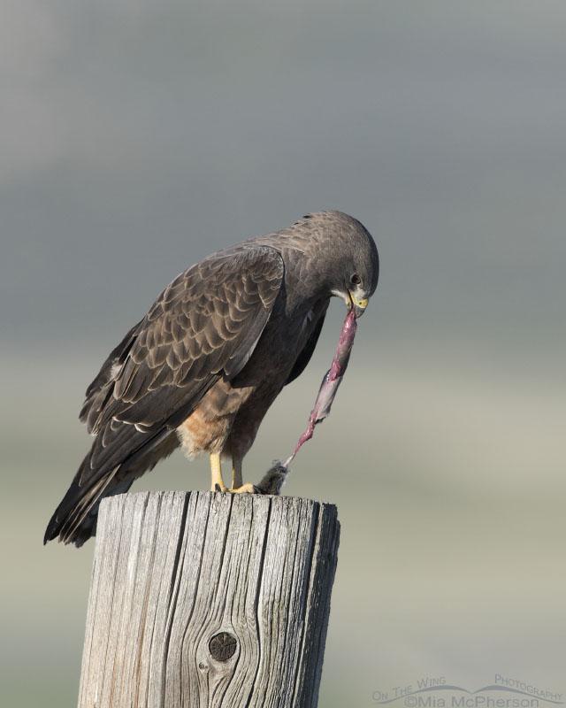 Swainson's Hawk eating a vole