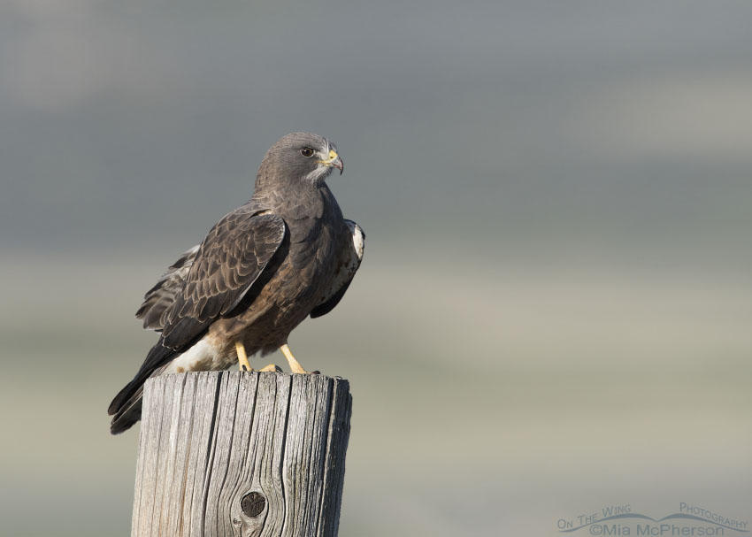 Box Elder County Swainson's Hawk