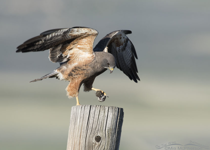 Swainson's Hawk with a vole
