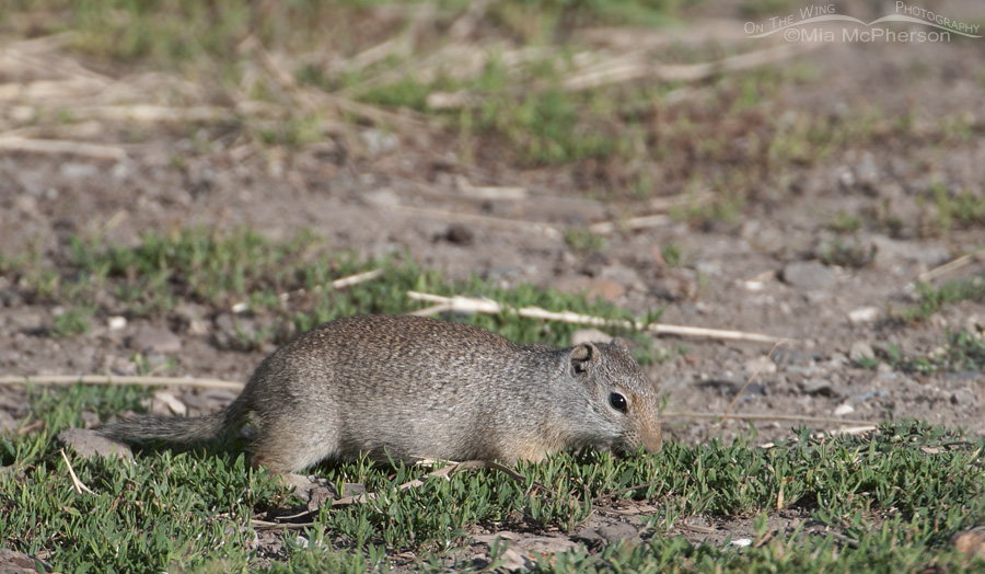 Uinta Ground Squirrel at Red Rock Lakes NWR