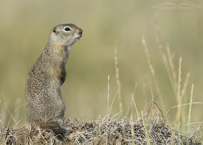 Uinta Ground Squirrel Images