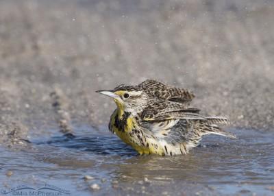 Western Meadowlark splashing in a puddle