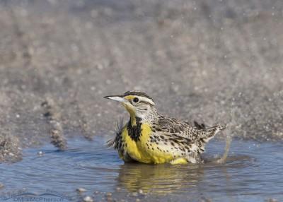 Western Meadowlark bathing