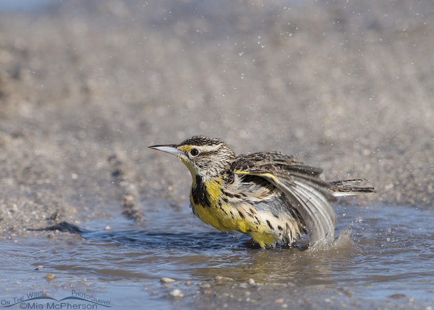 Meadowlark bathing in a puddle in the road