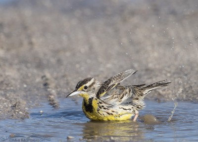 Western Meadowlark enjoying a bath