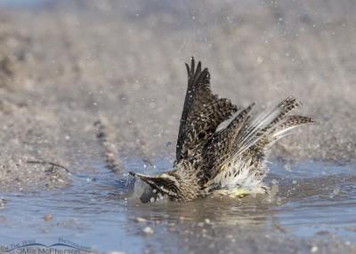 Western Meadowlark digging its bath