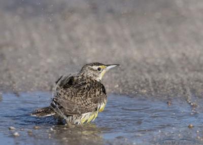 Western Meadowlark flinging water off with its wings