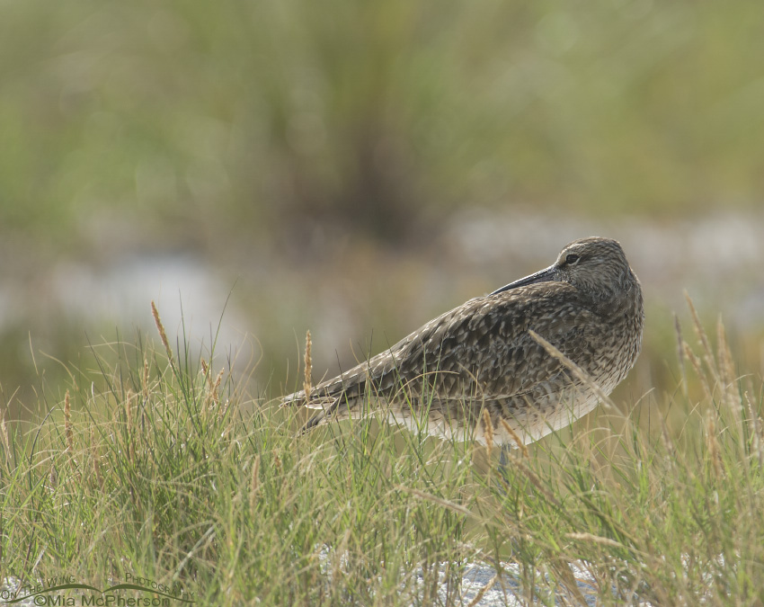 Resting Whimbrel