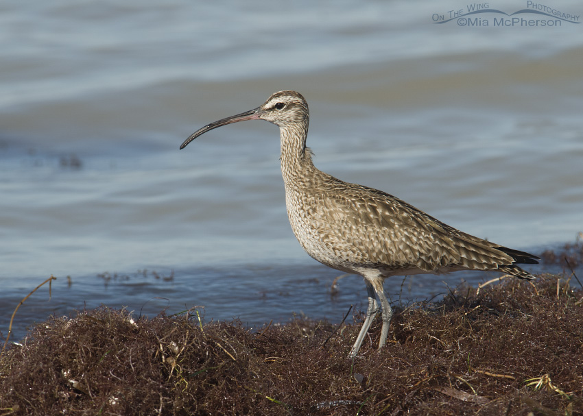 Whimbrel on floating seaweed