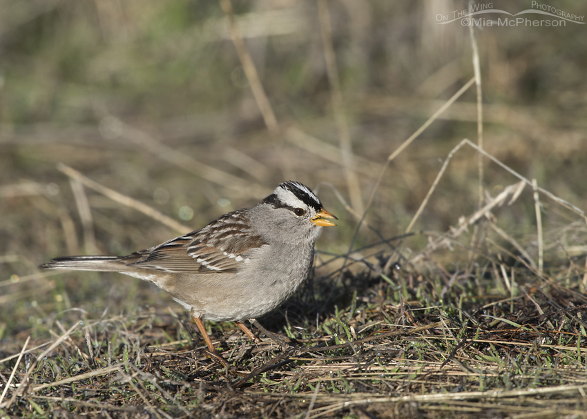 Adult White-crowned Sparrow feeding on the ground