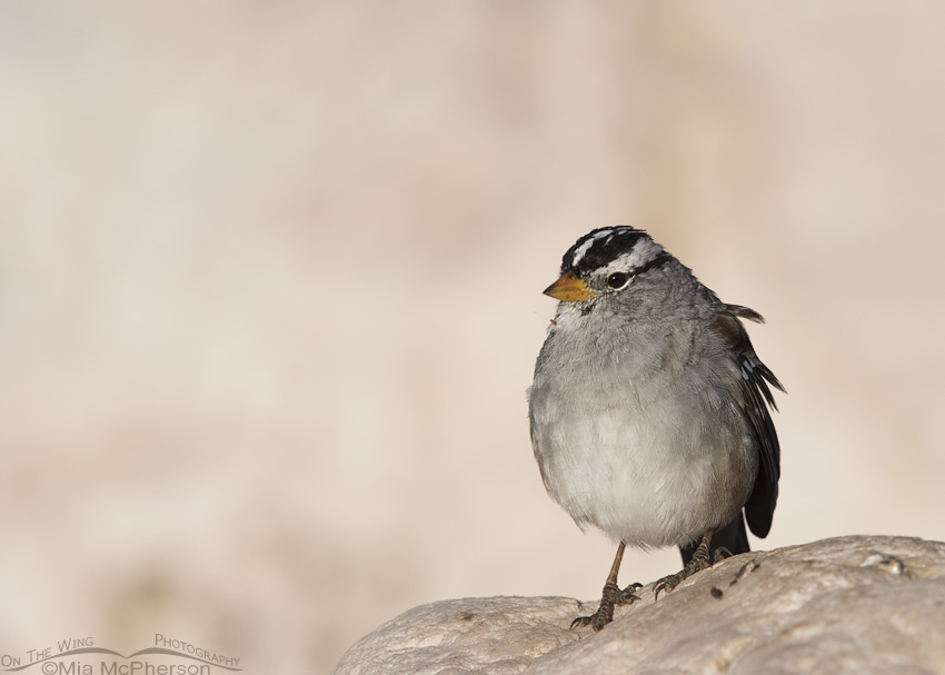 Adult White-crowned Sparrow in April