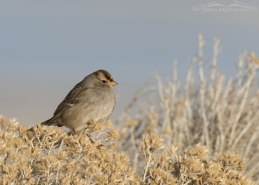 Juvenile White-crowned Sparrow first winter