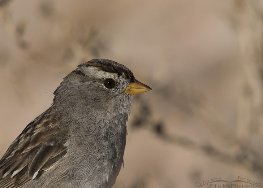 Portrait showing molt in an immature White-crowned Sparrow