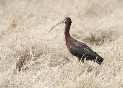 White-faced Ibis in a marsh