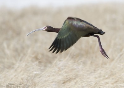 White-faced Ibis lift off