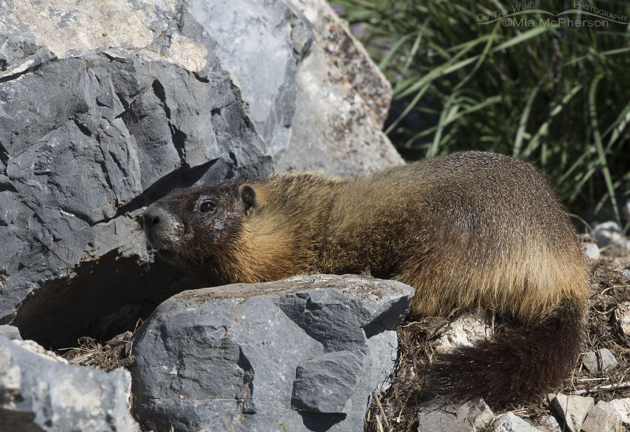 Yellow-bellied Marmot at burrow