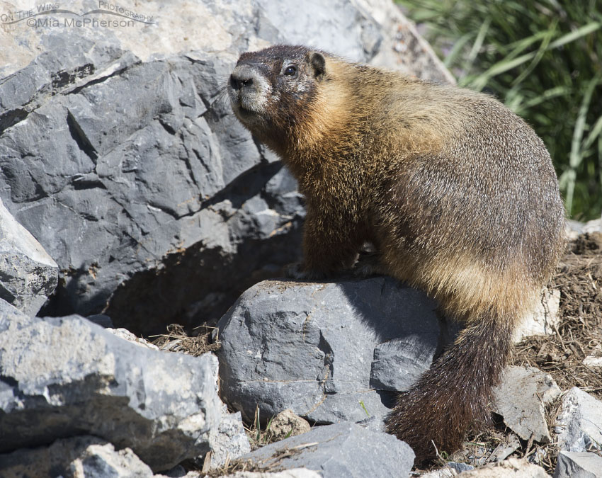 Mid-morning Yellow-bellied Marmot