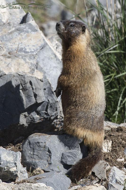 Alert Yellow-bellied Marmot