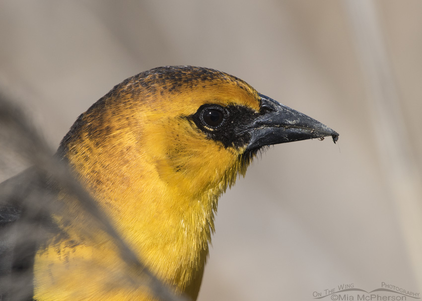 Male Yellow-headed Blackbird Portrait