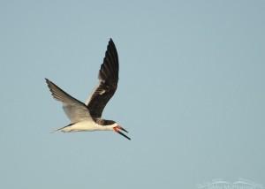Black Skimmer early morning flight
