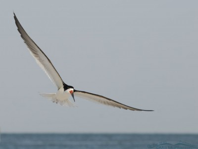 Black Skimmer adult in flight