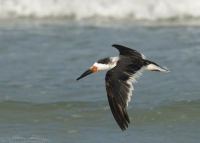 Black Skimmer flight along shoreline