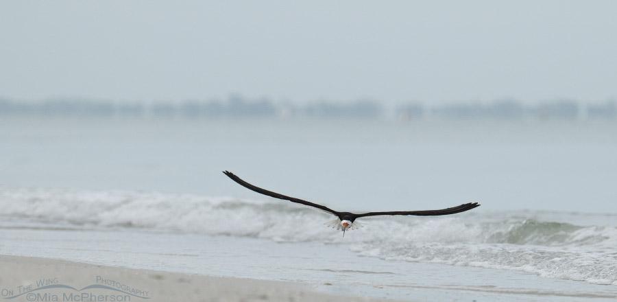 Lone Black Skimmer on a foggy Gulf shore